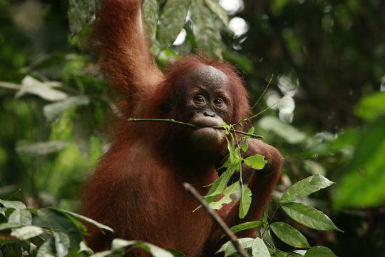 orangután deforestación