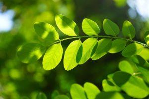 hojas con la clorofila