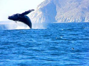 ballena jorobada en cabo pulmo