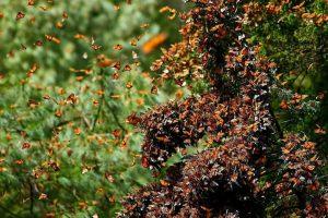 mariposas monarca volando
