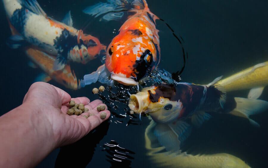 que comen los peces salvajes