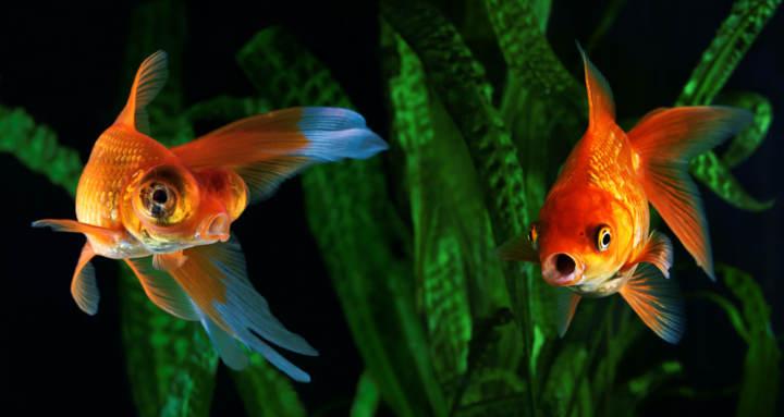 qué comen los peces