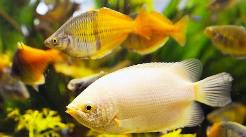 mejores peces de agua dulce