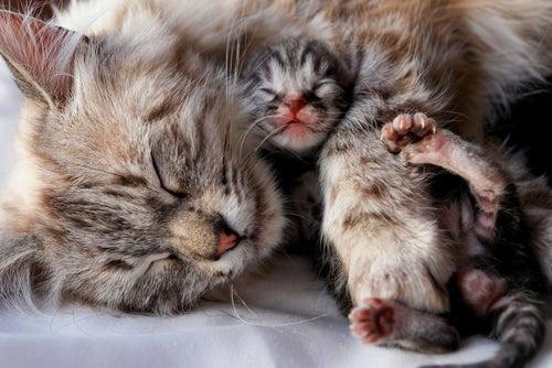 Razas de gatos bonitas