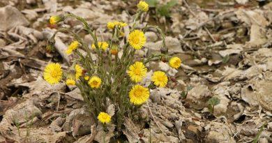 Plantas espermatofitas con flores amarillas