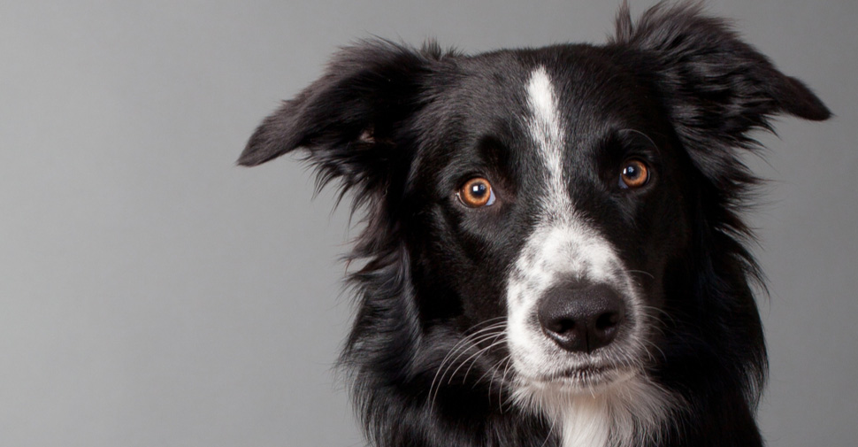 perros medianos para adoptar