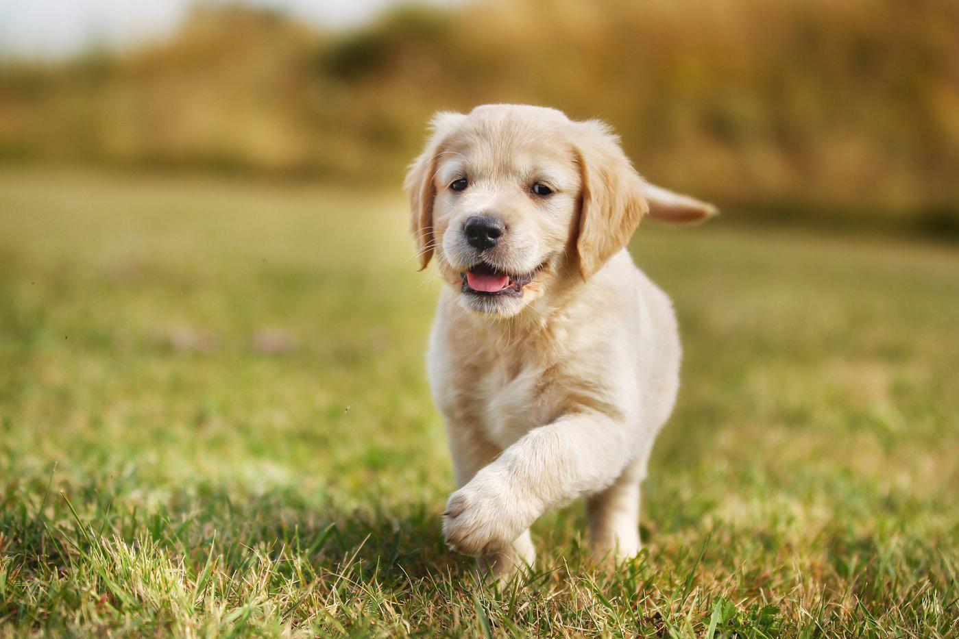perros medianos para tener en un jardín