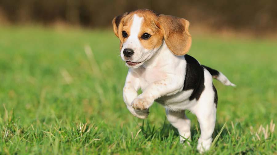 perros medianos para tener en el hogar