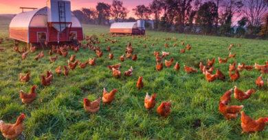 pollo de corral vs pollo ecológico